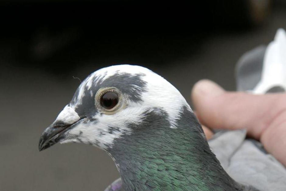 Winston, il piccione viaggiatore più veloce di Internet